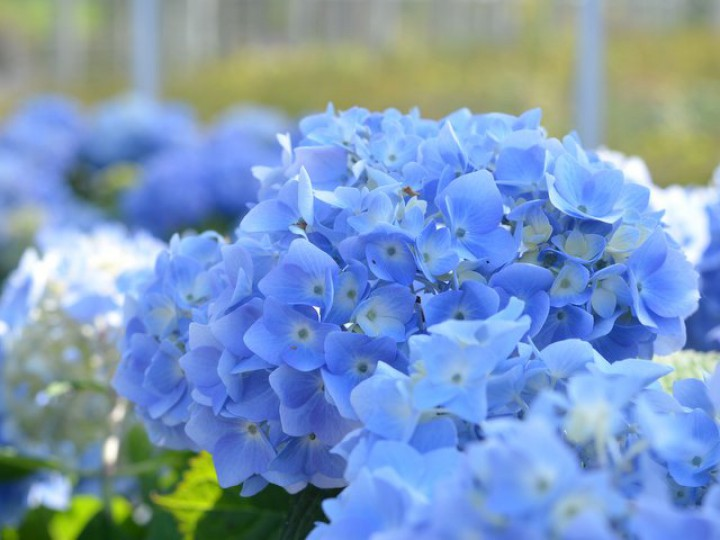 hortensie endless summer blau kaufen hortensientr ume. Black Bedroom Furniture Sets. Home Design Ideas