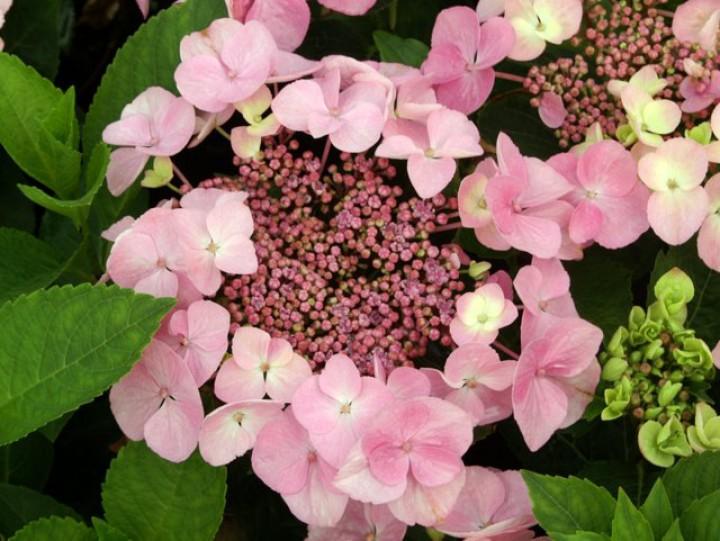 hortensie hydrangea macrophylla messalina hortensientr ume. Black Bedroom Furniture Sets. Home Design Ideas