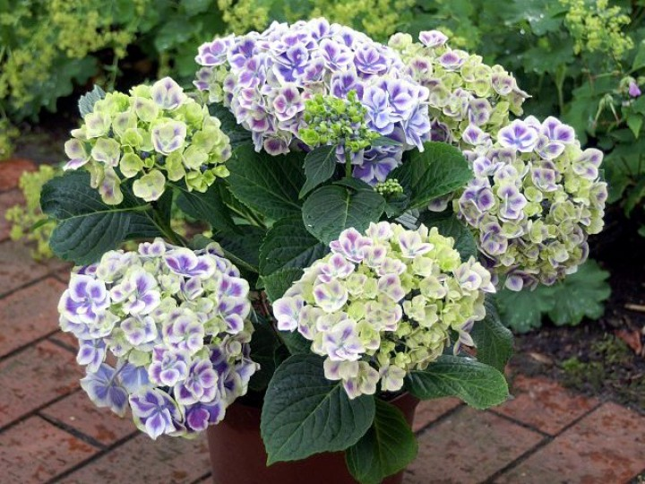 hortensie hydrangea macrophylla bavaria pflanzenb rse. Black Bedroom Furniture Sets. Home Design Ideas