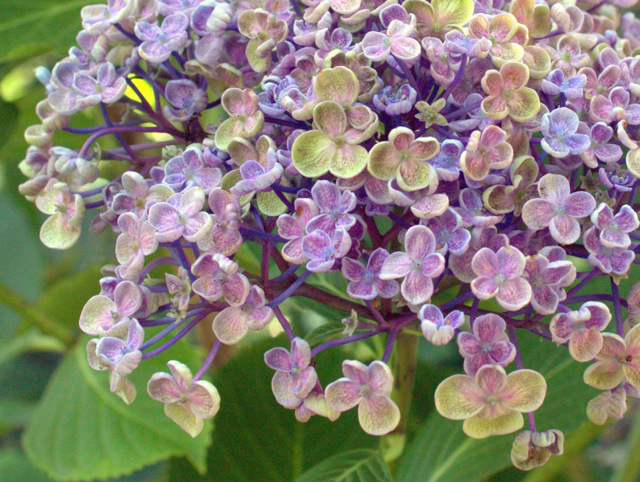 hortensie hydrangea macrophylla 39 ayesha 39. Black Bedroom Furniture Sets. Home Design Ideas