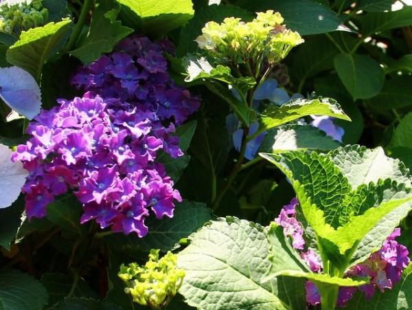 Hydrangea macrophylla Curly® Sparkle Blue Purple