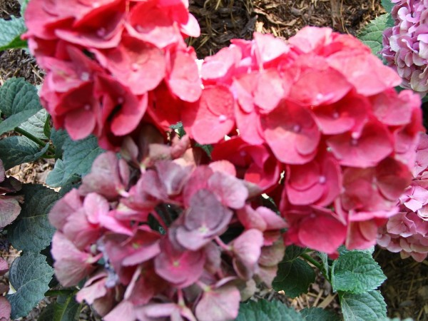 Hydrangea-macr-Magical-Amore