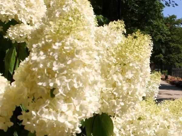 Hydrangea paniculata 'Magical Sweet Summer®' (Bokrathirteen)