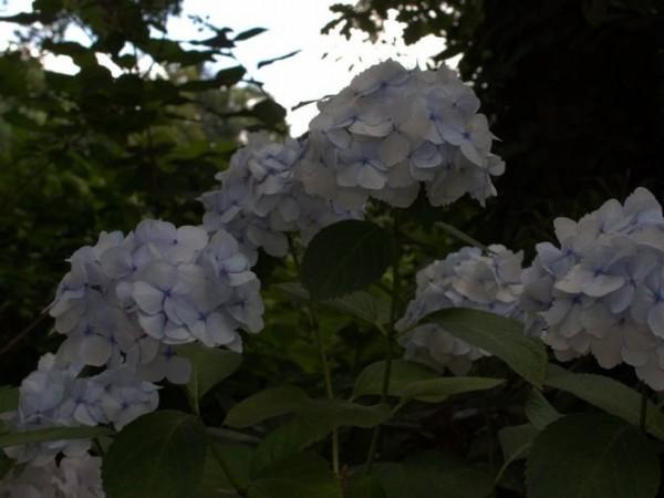 Hydrangea-macr-Mme-Emile-Moulliere