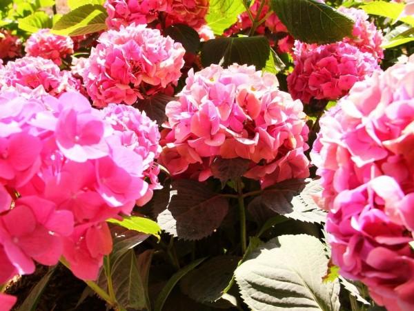 Hydrangea-macr-Yola-Rose