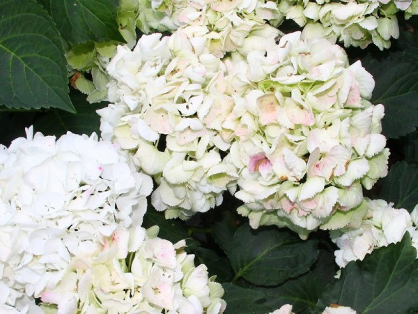 Hydrangea-macr-Clarissa1