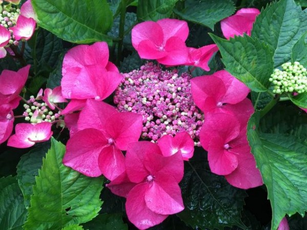 Hydrangea macrophylla Kardinal®2