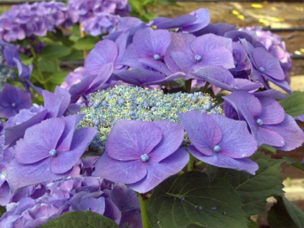 Hydrangea macrophylla Blaumeise®