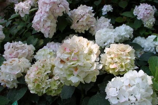 Hydrangea-macr-Immaculata