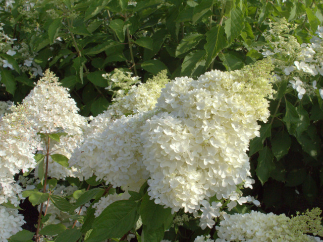 hortensie hydrangea paniculata 39 grandiflora. Black Bedroom Furniture Sets. Home Design Ideas