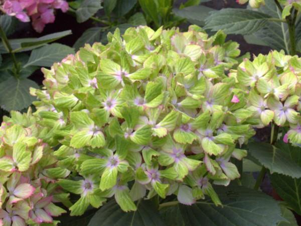 Hydrangea macrophylla Fantasia®
