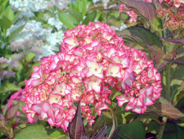 hortensie hydrangea macrophylla 39 mirai 39 hortensientr ume. Black Bedroom Furniture Sets. Home Design Ideas