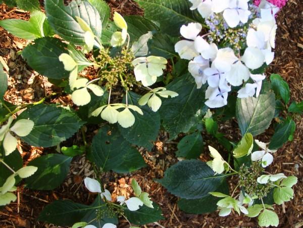 Hydrangea-macr-Green-Tonic