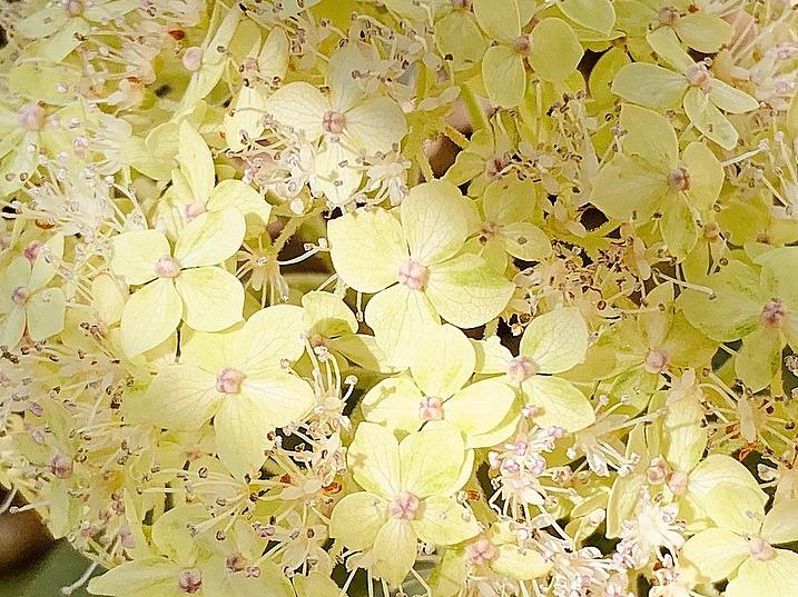 Rispenhortensie Pflanze Hortensie Neuheit mit gelben Blüten CANDLELIGHT