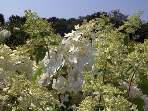 Hydrangea paniculata 'Brussels Lace'