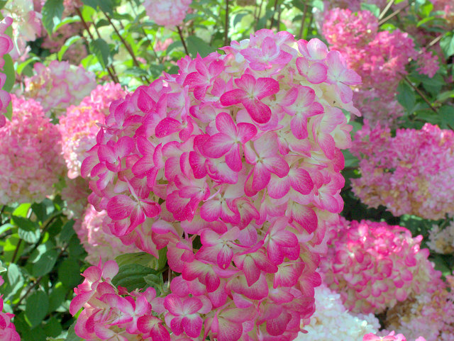hortensie hydrangea paniculata 39 diamant rouge 39 hortensientr ume. Black Bedroom Furniture Sets. Home Design Ideas