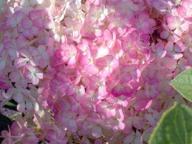 Hortensie Hydrangea Paniculata Bobo Hortensientraume