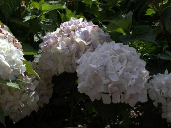 Hydrangea-macr-Pirouette
