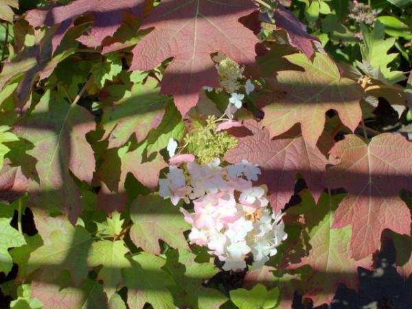 Hydrangea quercifolia1