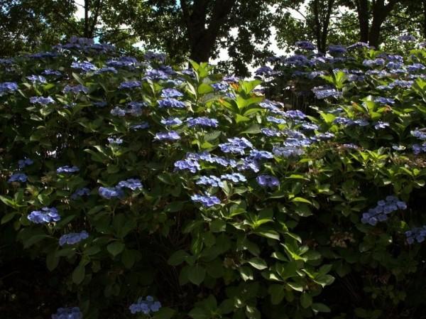 Hydrangea-macr-Bl-uling