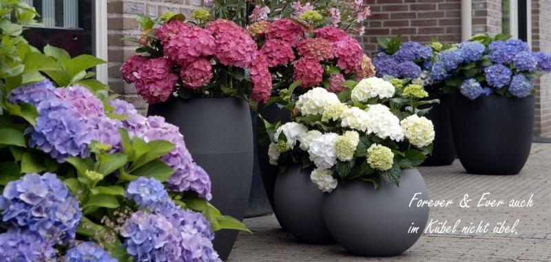 bauernhortensie online kaufen hortensientr ume. Black Bedroom Furniture Sets. Home Design Ideas