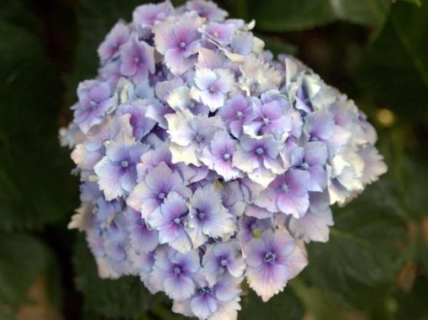 Hydrangea-macr-Hugg-s-Love