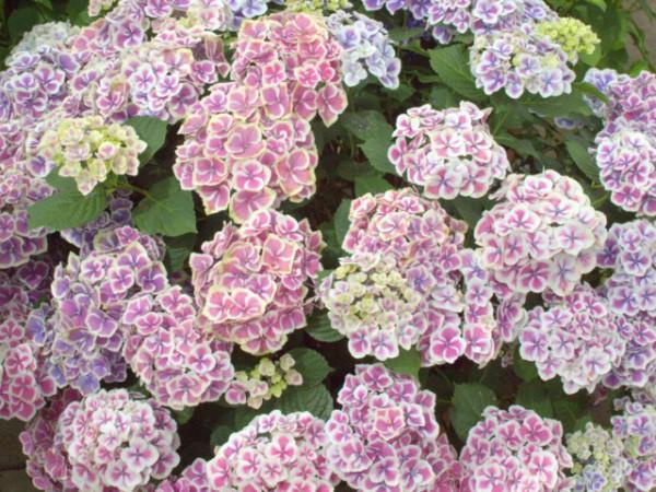 Hydrangea macrophylla Camilla®