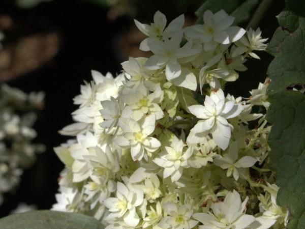 Hydrangea arborescens 'Hayes Starburst'®
