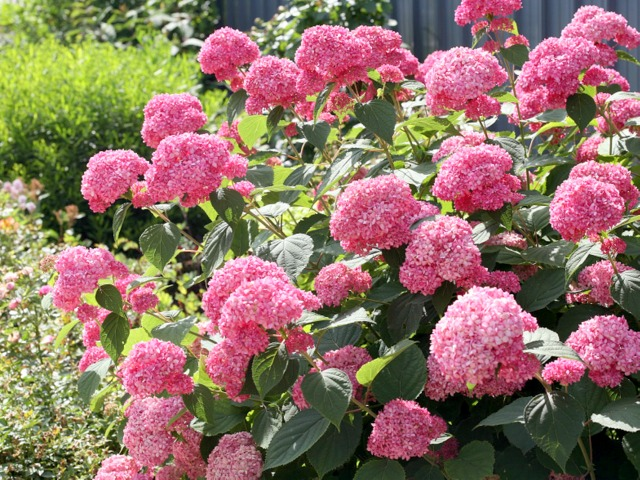 hortensie hydrangea arborescens 39 pink annabell 39 hortensientr ume. Black Bedroom Furniture Sets. Home Design Ideas