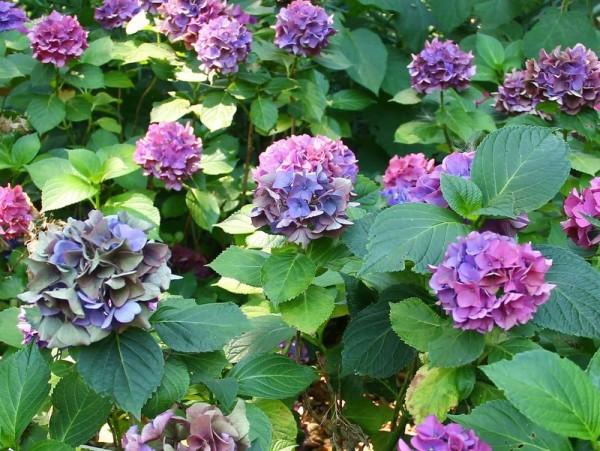 Hydrangea-macr-Early-Blue