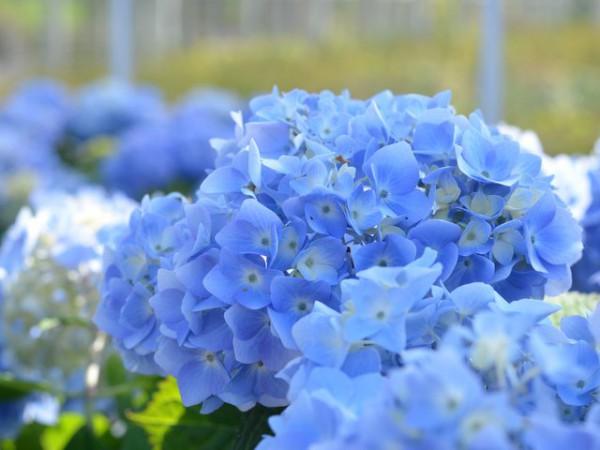 Hortensie Endless Summer® blau