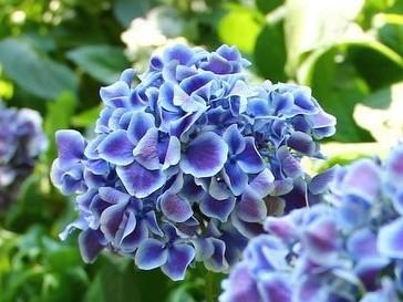 Hortensie Tivoli Blue
