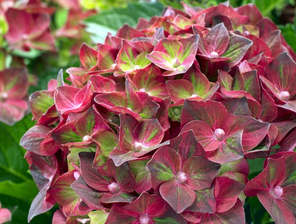 Magical®  'Ruby Tuesday'