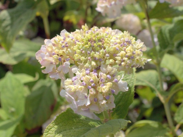 Hydrangea involucrata 'Sterilis'