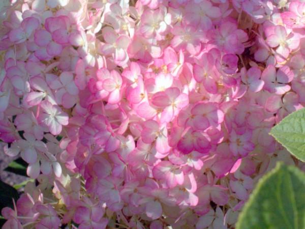 Hydrangea paniculata 'Bobo'®