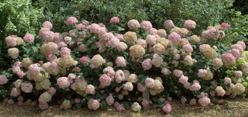 Hortensien Im Schatten hortensien im schatten schloss wackerbarth cm zierstrauch