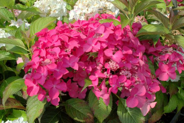hortensie hydrangea macrophylla 39 selina 39 hortensientr ume. Black Bedroom Furniture Sets. Home Design Ideas