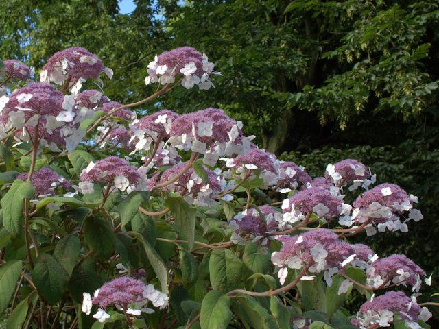 hortensie hydrangea aspera 39 macrophylla 39 hortensientr ume. Black Bedroom Furniture Sets. Home Design Ideas
