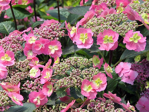 Hydrangea serrata 'Cotton Candy'