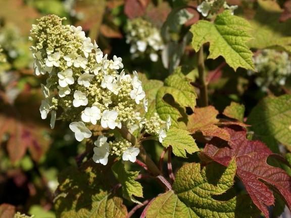 Hydrangea quercifolia 'Ruby Slippers'1