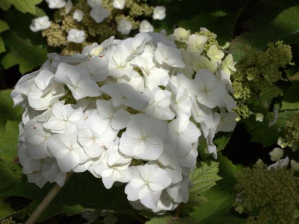 Hydrangea quercifolia 'Sike's Dwarf'