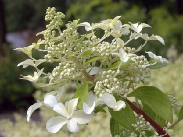 Hydrangea paniculata 'Great Star®'