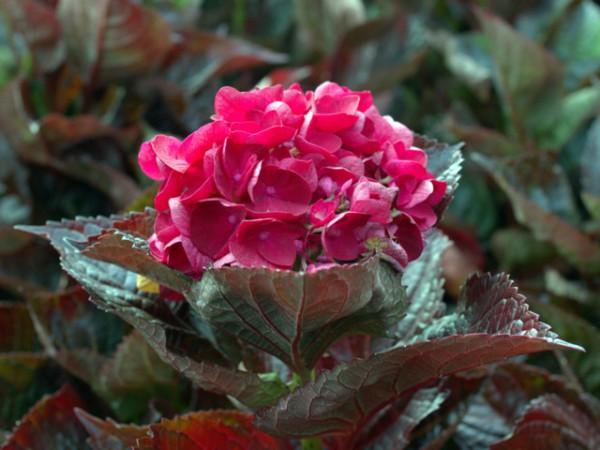 """Hydrangea macrophylla """"Merveille Sanguine"""""""
