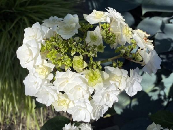 Hydrangea macrophylla 'Wedding Gown'