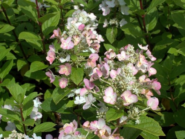 Hydrangea-pan-Dart-s-little-Dot