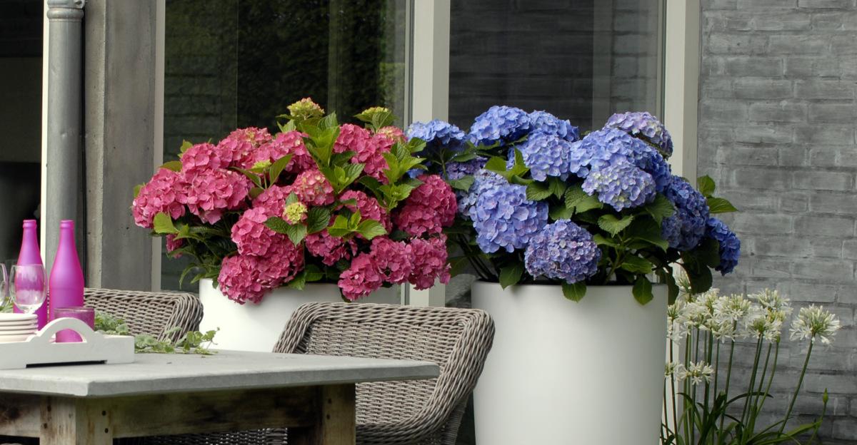 hortensie 39 forever and ever 39 kaufen hortensientr ume. Black Bedroom Furniture Sets. Home Design Ideas