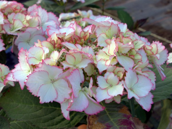 Hortensie Hovaria® 'Love You Kiss'