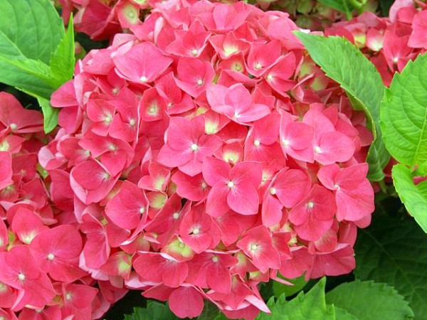 Hydrangea macrophylla Leuchtfeuer®