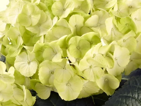 Hydrangea macrophylla 'Caipirinha'®