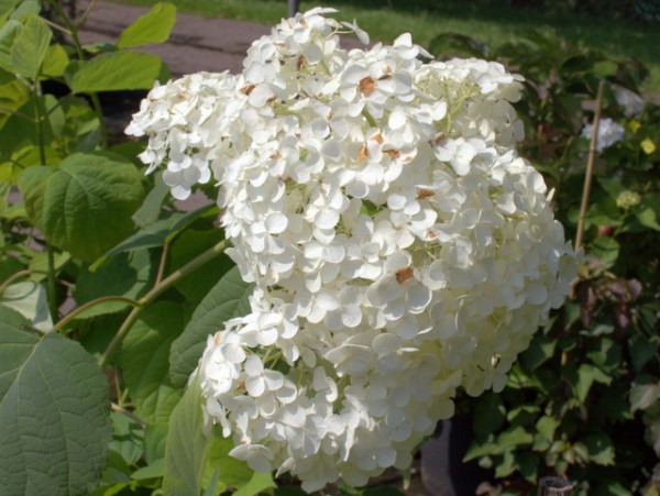 Hydrangea arborescens 'Sheep Cloud'